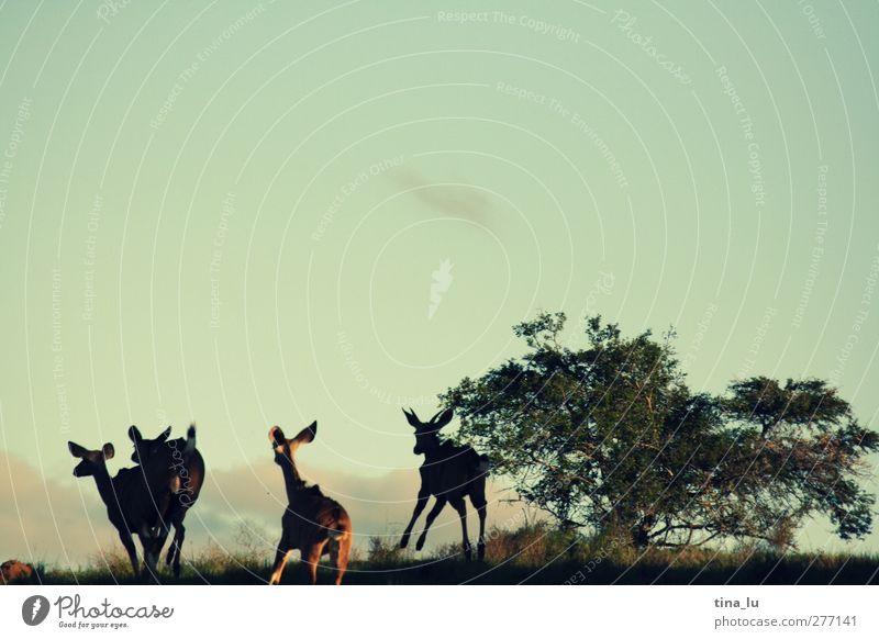 flüchtige Bekannte Himmel Sommer Tier Landschaft Wärme Gras Bewegung laufen Tiergruppe Sträucher Hügel rennen Afrika sportlich Jagd Platzangst