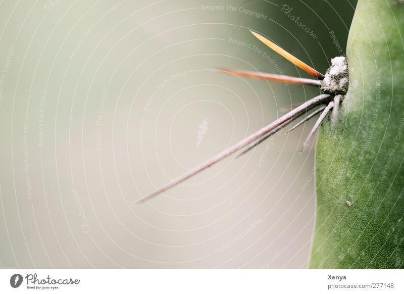 Stich Pflanze Kaktus Aggression bedrohlich exotisch stachelig grün gefährlich Spitze abwehrend Defensive Detailaufnahme Menschenleer Textfreiraum links Tag