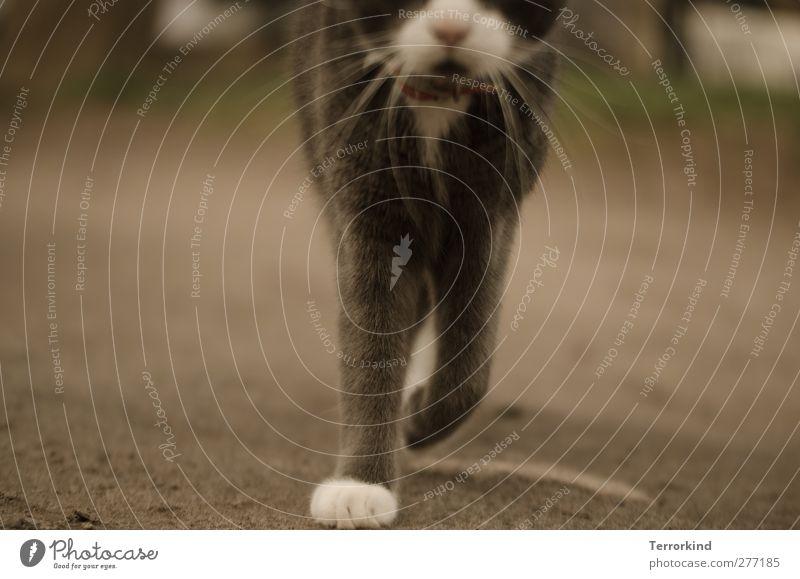 Hiddensee   grazie. Katze Hauskatze Tier Fell weich grau weiß Pfote Bewegung gehen Perspektive Boden Asphalt Schnurrhaar Schnauze Körper sanft