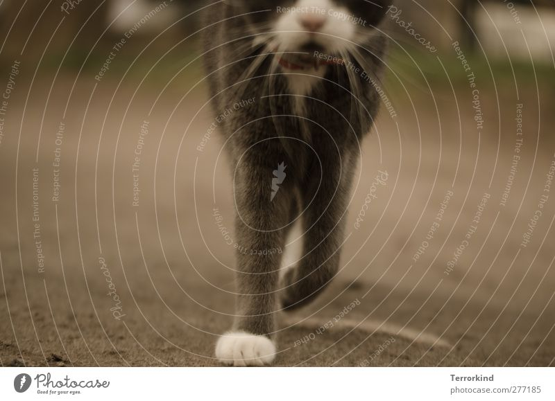 Hiddensee | grazie. Katze weiß Tier Bewegung grau Körper gehen Perspektive Boden weich Fell Asphalt sanft Pfote Hauskatze Schnauze
