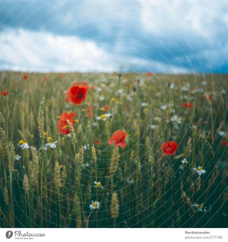 Unbeständig Natur Sommer Pflanze Blume Wolken Blüte Wetter Feld Klima natürlich ästhetisch Freundlichkeit Blühend Getreide Mohn Unwetter