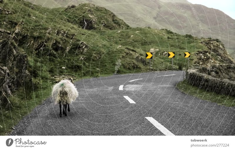 Linksverkehr Gras Moos Hügel Felsen Menschenleer Verkehr Verkehrswege Straßenverkehr Wege & Pfade Verkehrszeichen Verkehrsschild Kurve Tier Nutztier Schaf 1