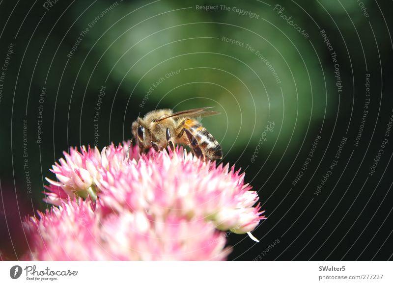 Die Honigsammlerin Pflanze Blüte Fetthenne Garten Biene 1 Tier fleißig Farbfoto mehrfarbig Außenaufnahme Nahaufnahme Detailaufnahme Makroaufnahme Menschenleer