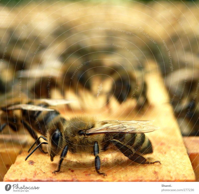 soo muss Biene! Natur schön Tier ruhig schwarz gelb Holz braun orange Wildtier wild authentisch stehen Flügel Pause weich