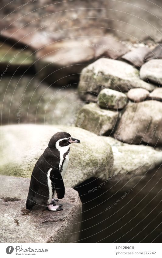 Kowalski. Ferien & Urlaub & Reisen Tourismus Ausflug Natur Küste Tier Wildtier Zoo Pinguin 1 Stein Blick träumen außergewöhnlich exotisch klein Gelassenheit