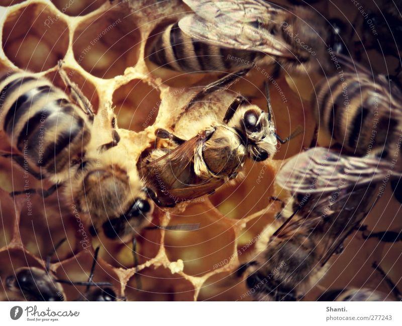 Bienenbeginn Bienenwaben Tier Nutztier Wildtier Tiergesicht Flügel Fell 1 Schwarm Tierjunges Bewegung entdecken krabbeln authentisch frisch nah nass neu stark