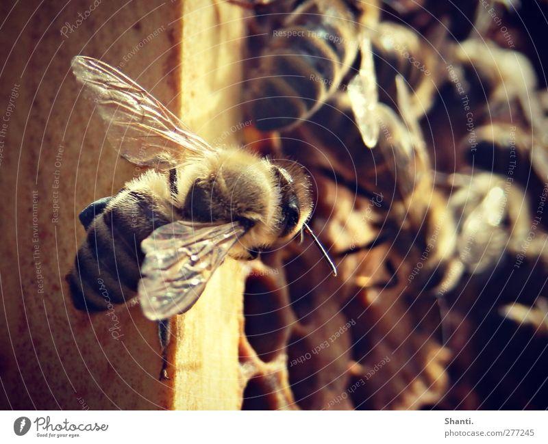 biene maja schaut vorbei Natur Tier schwarz gelb Umwelt braun orange Kraft gold Wildtier wild frei authentisch Flügel Fell nah