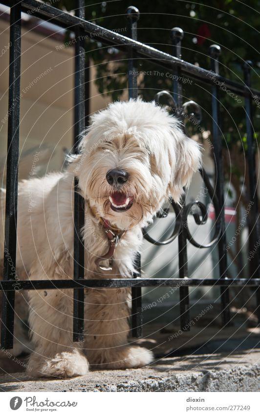 Kretischer Kettenhund Zaun Tier Haustier Hund 1 kuschlig Haushund Kontrolle Schutz Blick Farbfoto Außenaufnahme Menschenleer Textfreiraum oben Tag Tierporträt