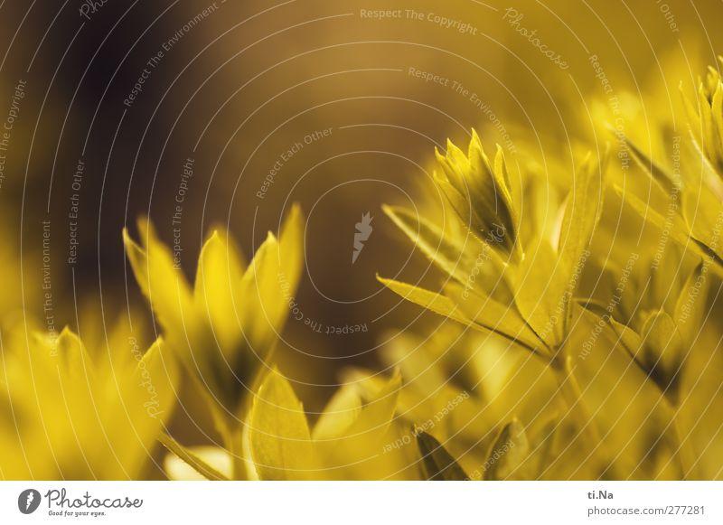 Waldmeister Kräuter & Gewürze Bioprodukte Waldmeisterbowle Frühling Sommer Blatt Nutzpflanze Wildpflanze Garten Duft Wachstum klein gelb gold grün Gesundheit