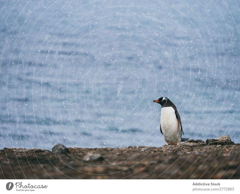 Pinguin am Meer Küste Tier wild Sonnenlicht