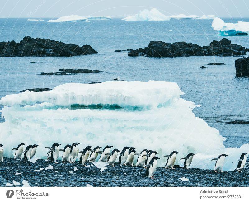 Pinguinschwarm, der auf Schnee geht. Küste Schafherde polar Winter Norden Natur Tierwelt kalt Meer Menschengruppe Beautyfotografie Klima natürlich wild Wasser