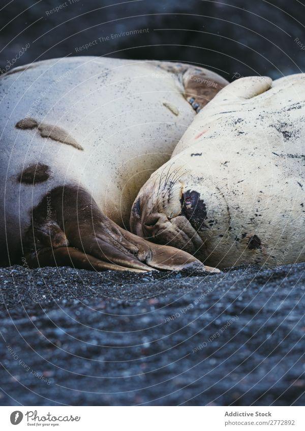 Robben, die am Ufer schlafen. Küste Tierwelt Natur Sand Fauna Meer marin Säugetier wild Küstenstreifen Norden aussruhen Strand Landschaft natürlich Tourismus