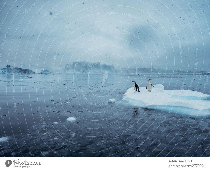 Pinguine auf dem Gletscher Meer Landschaft Umwelt Beautyfotografie Vogel Wasser Schneefall Natur polar Norden Arktis Ferien & Urlaub & Reisen wild marin Eisberg