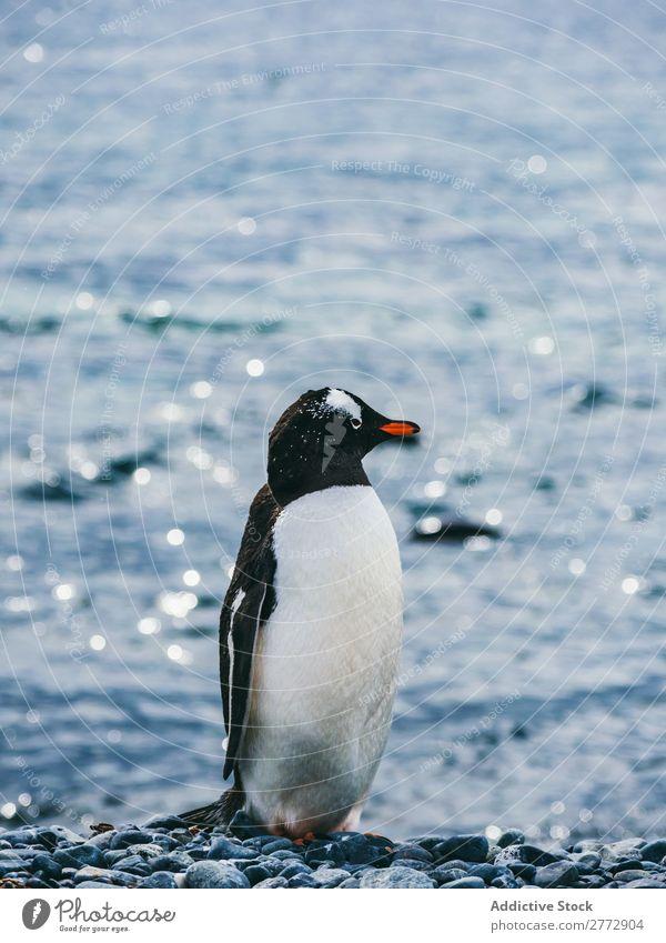 Pinguin auf dem Hintergrund des Meeres Küste Tier wild Sonnenlicht Natur Wasser Ferien & Urlaub & Reisen marin Kieselsteine Strand Tierwelt Vogel natürlich kalt