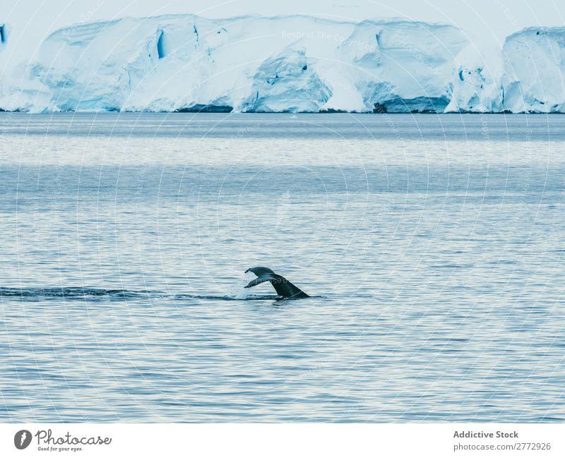 Wale schwimmend im eisigen Ozean Meer Gletscher Landschaft Tier Umwelt Wasser Natur polar Norden global Arktis Ferien & Urlaub & Reisen tauchen wild marin