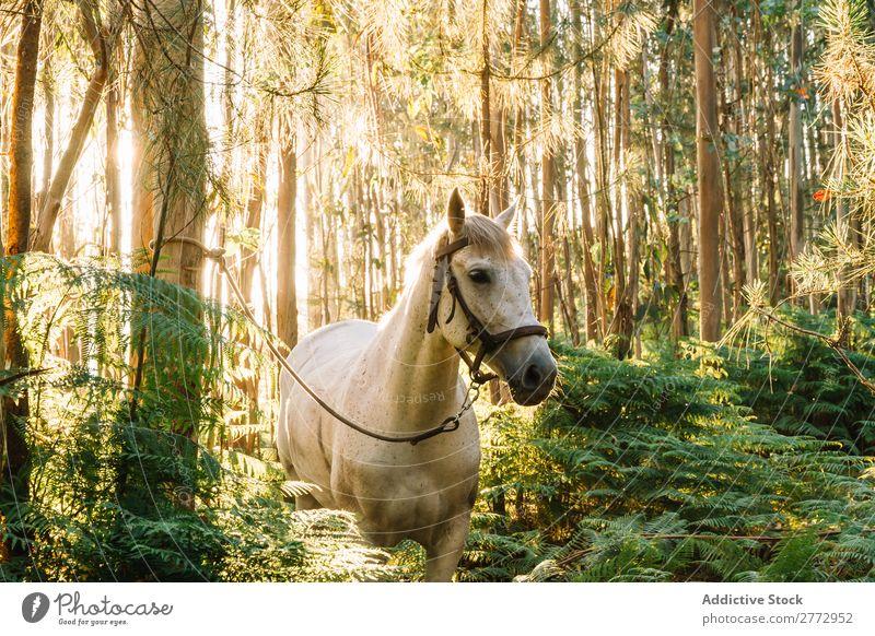 Gebundenes Pferd im Wald Sonnenuntergang Haltegurt weiß Natur schön Tier Landschaft grün Sommer Hengst ländlich Beautyfotografie pferdeähnlich Weide Wiese