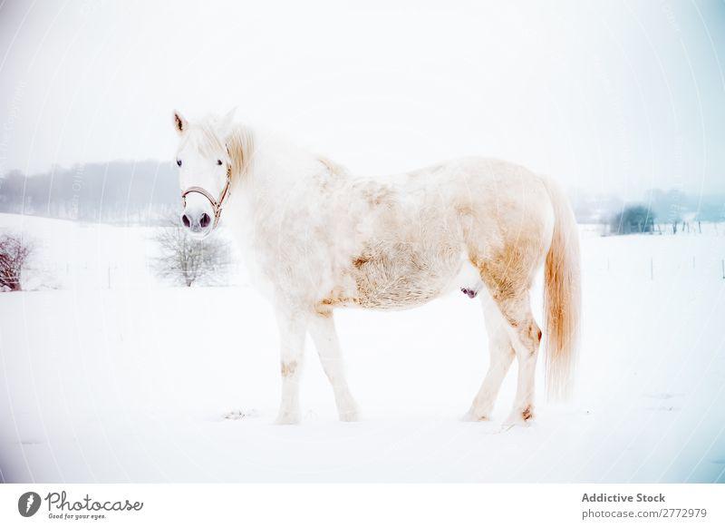 Weißes Pferd auf Schnee weiß Feld stehen kalt Winter Hengst Natur Säugetier grau Reinrassig pferdeähnlich Tier Freiheit Bauernhof Beautyfotografie wild Bewegung