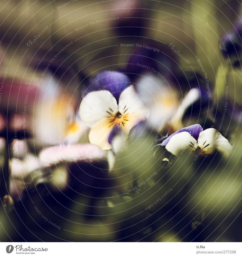 Stiefmutter Frühling Pflanze Blume Blatt Blüte Topfpflanze Stiefmütterchen Stiefmütterchenblüte Garten Blühend Duft klein natürlich blau gelb grün weiß