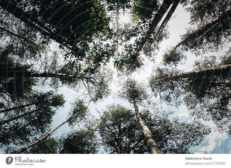 Baumkronen von unten gesehen Himmel Wald Außenaufnahme aufschauend Höhe vom Boden aus Unteransicht Perspektive linear Blatt Baumstamm Trunck Tiefblick Natur