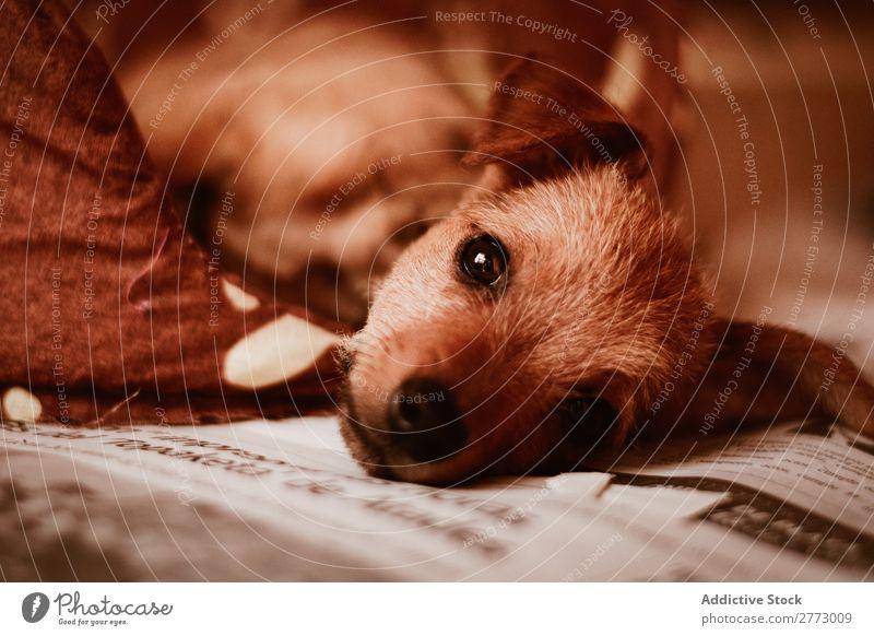 Ein Welpe liegt auf der Zeitung. legen niedlich Blick in die Kamera heimisch Hund reizvoll Haustier Tier Reinrassig Säugetier züchten klein Pelzmantel Hündchen