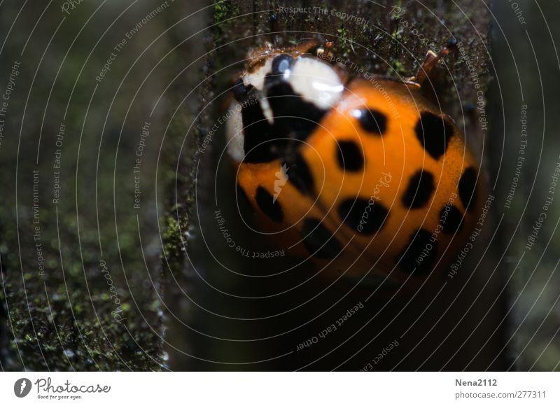 hoch zum Licht Natur Tier Feld Wald Käfer 1 orange rot schwarz Glück Punktmuster Fleck Marienkäfer Glücksbringer Insekt coccinelle dunkel Unterholz Farbfoto