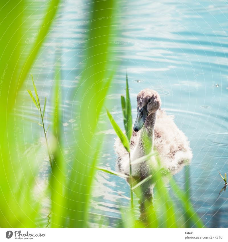Babyschwan Umwelt Natur Tier Schönes Wetter Gras Seeufer Teich Wildtier Vogel Schwan 1 Tierjunges beobachten klein niedlich schön wild blau grün Neugier
