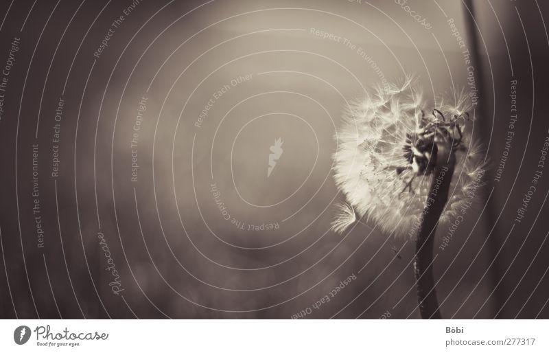 Pusteblume Umwelt Natur Pflanze Tier Blume Löwenzahn Wiese weich braun Gedeckte Farben Außenaufnahme Nahaufnahme Detailaufnahme Textfreiraum links