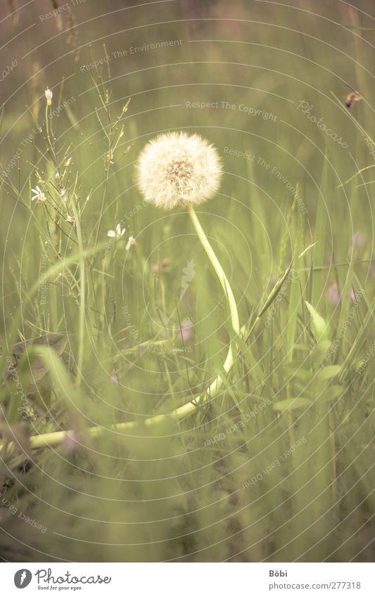 Pusteblume Natur weiß grün Pflanze Tier gelb Umwelt Wiese Gras Frühling weich violett Löwenzahn Duft Wildpflanze