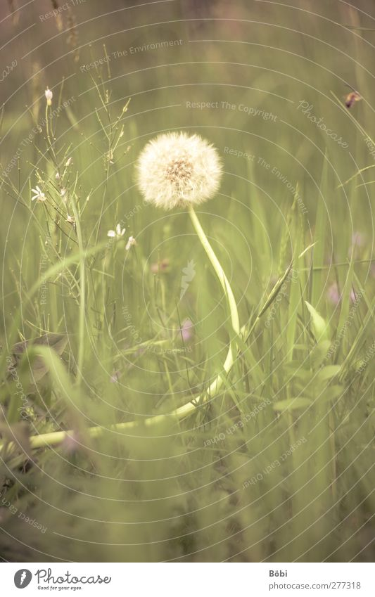Pusteblume Umwelt Natur Pflanze Tier Frühling Gras Wildpflanze Löwenzahn Wiese Duft weich gelb grün violett weiß Farbfoto Außenaufnahme Menschenleer