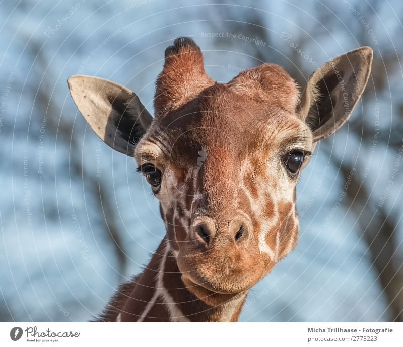 Giraffe schaut interessiert Natur Tier Himmel Sonnenlicht Schönes Wetter Wildtier Tiergesicht Fell Auge Nase Maul Ohr Kamelhöcker Horn 1 beobachten glänzend