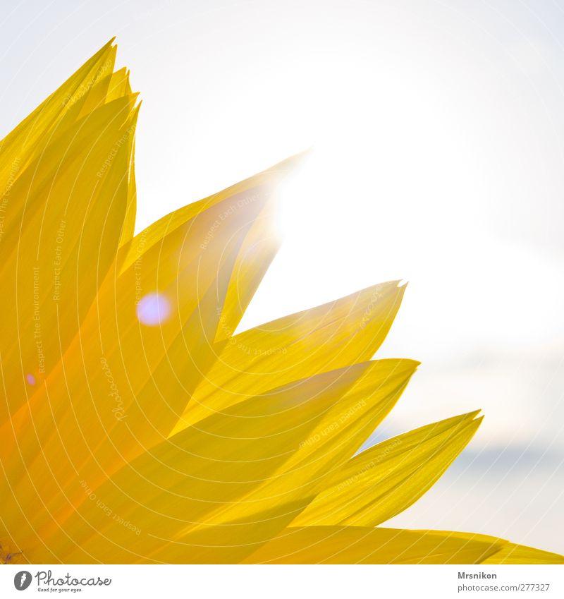 Sonne Natur Pflanze Himmel Sonnenlicht Sommer Schönes Wetter Grünpflanze Nutzpflanze Sonnenblume Garten Park Feld glänzend leuchten Unendlichkeit natürlich gelb