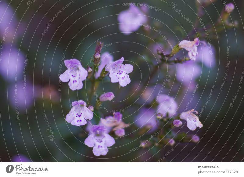 LilaLila Umwelt Pflanze Herbst Schönes Wetter Sträucher Blatt Blüte Grünpflanze Wildpflanze Duft dünn authentisch frisch violett Farbfoto mehrfarbig
