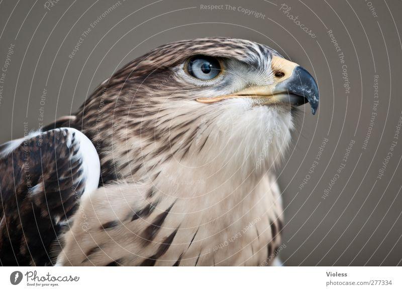 klarer blick 1 Tier beobachten natürlich wild Kraft Mut ästhetisch bedrohlich Natur Falken Greifvogel Vogel Blick Tierporträt Farbfoto