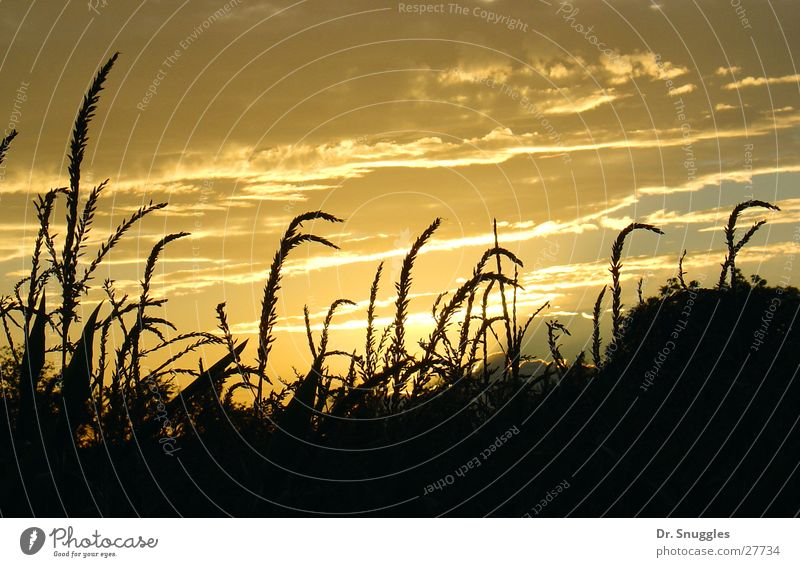 Goldene Früchte des Feldes Sonnenuntergang Ähren gelb Wolken Rheinland-Pfalz Wörth am Rhein gold Schatten Maximiliansau