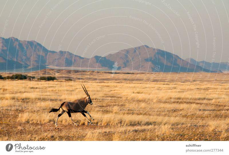 Da rennt's! Natur Pflanze Tier Landschaft Umwelt Berge u. Gebirge Gras Wildtier Schönes Wetter Wüste rennen Stranddüne Düne Grasland Steppe Namibia