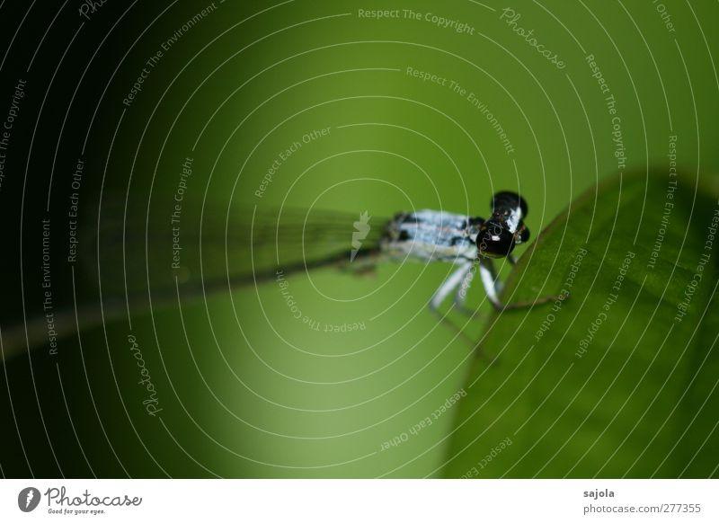 vor dem abflug Natur Tier Wildtier Insekt Klein Libelle 1 festhalten sitzen warten blau grün schwarz Farbfoto Außenaufnahme Nahaufnahme Makroaufnahme