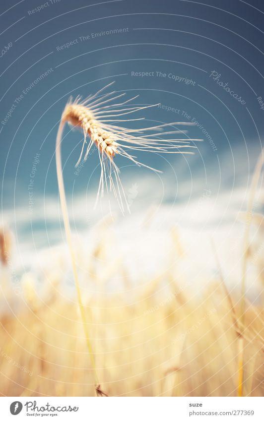 Eine Frage der Ähre Himmel Natur Sommer Pflanze Landschaft gelb Umwelt Feld natürlich Lebensmittel Wachstum authentisch leuchten Schönes Wetter Getreide Korn
