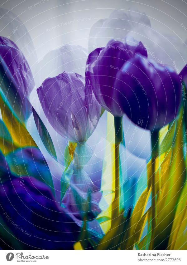 Tulpen lila Doppelbelichtung Kunst Kunstwerk Gemälde Natur Pflanze Frühling Sommer Herbst Winter Blume Blatt Blüte Blumenstrauß Blühend leuchten ästhetisch