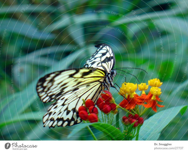 Schmetterdingens Schmetterling Insekt Tier Flugtier Blüte saugen gelb rot Verkehr Flügel Necktar