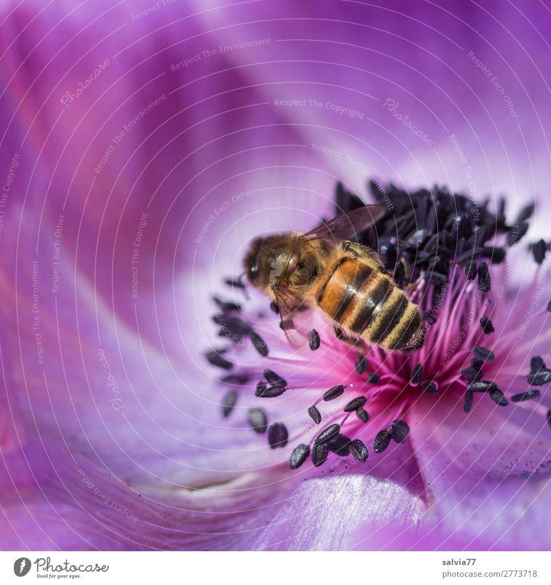 Biene im Blütenparadies Makroaufnahme Textfreiraum oben Textfreiraum links Schwache Tiefenschärfe Menschenleer Farbfoto Außenaufnahme Pflanze Blume Natur