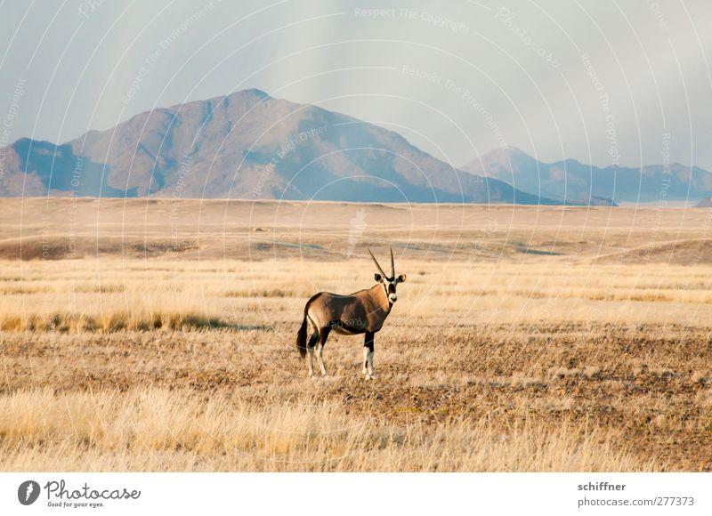 ...und da steht's wieder und guckt Natur Pflanze Tier Landschaft Umwelt Berge u. Gebirge Gras Wildtier stehen Schönes Wetter Wüste Wolkenloser Himmel Grasland