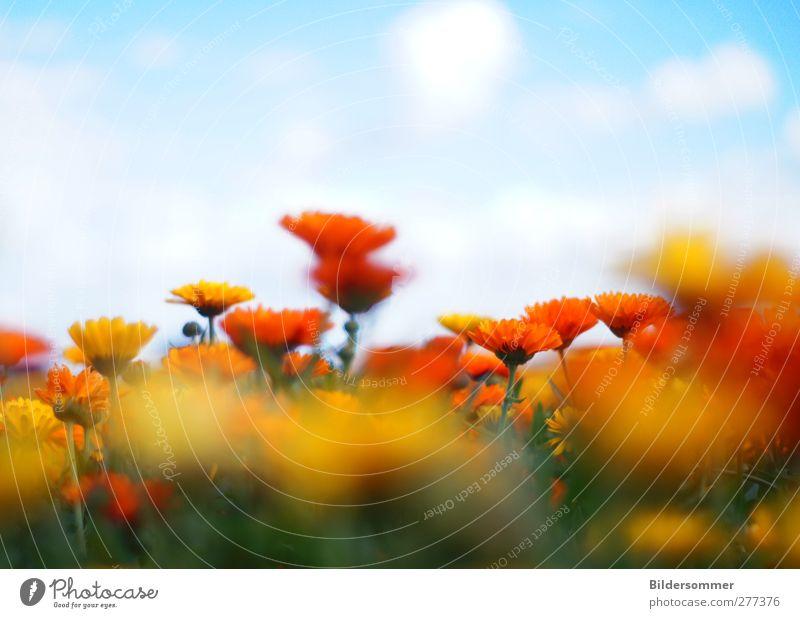 Enjoy the Silence Himmel Natur Ferien & Urlaub & Reisen Pflanze blau grün schön Sommer Blume Landschaft Wolken gelb Frühling Wiese Freiheit orange
