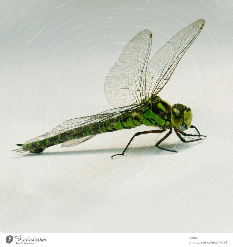 Flügelwesen grün schön Tier Auge grau Luft gold fliegen warten Geschwindigkeit Ausflug leuchten ästhetisch einzigartig nah