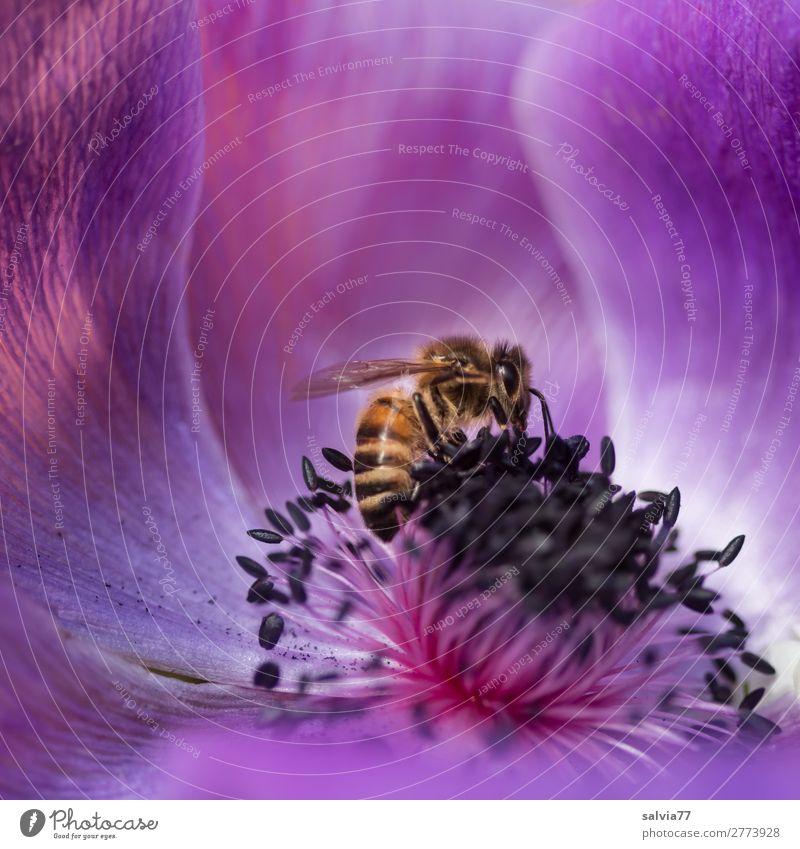 Anemonenduft Umwelt Natur Frühling Sommer Blume Blüte Garten Nutztier Biene Honigbiene Insekt Pollen Nektar 1 Tier Blühend Duft krabbeln ästhetisch frisch