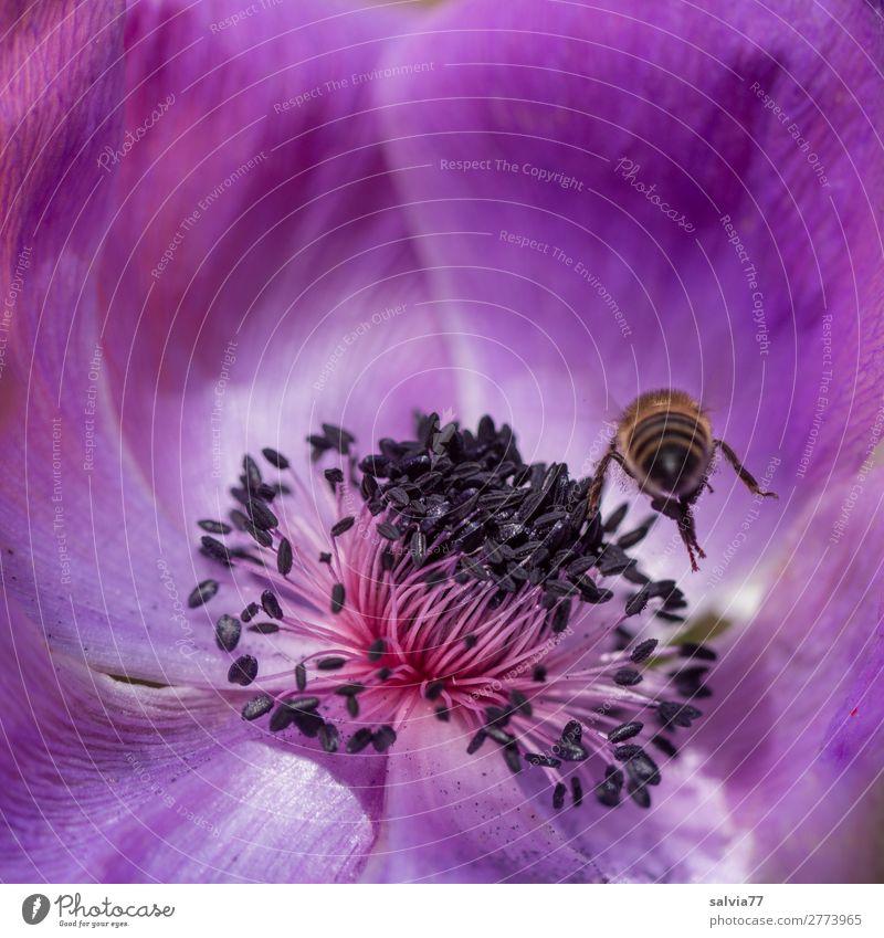 zielstrebig Natur Frühling Sommer Blume Blüte Anemonen Garten Biene Insekt Honigbiene Blühend fliegen violett ästhetisch Duft Farbe Leben Umweltschutz Ziel