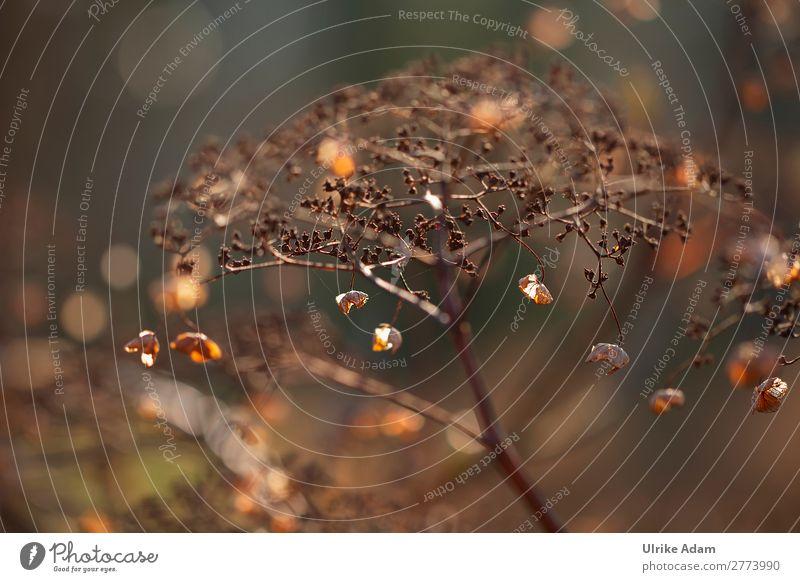 Verblühte Hortensien Natur Pflanze Blume ruhig Winter Herbst Blüte natürlich Traurigkeit Garten braun Dekoration & Verzierung Park leuchten glänzend