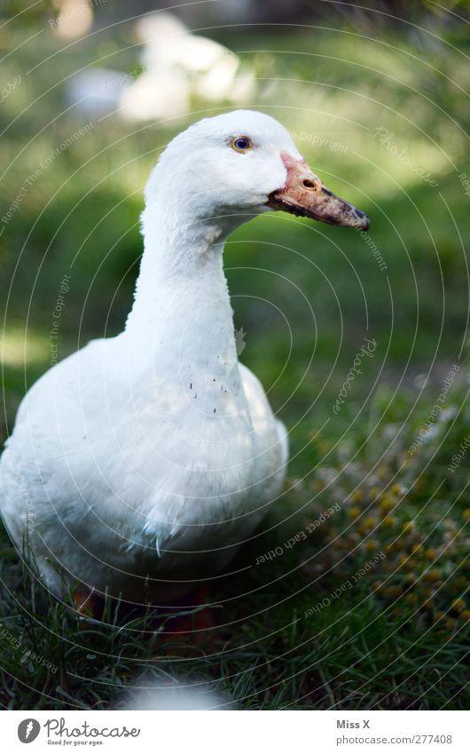 Weihnachtsgans ? Gras Wiese Tier Nutztier Vogel 1 weiß Geflügel Geflügelfarm Gans Tierzucht Feder Ente Schnabel watscheln Quaken Farbfoto Außenaufnahme