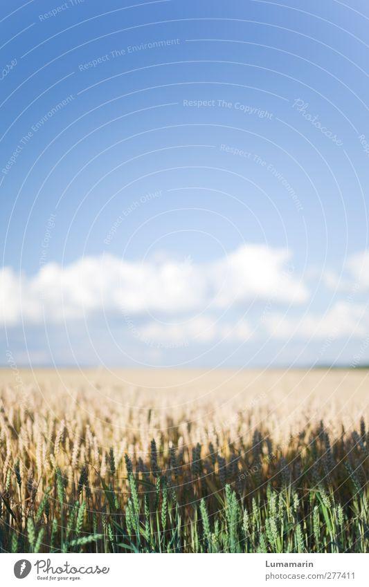 ährenvoll Umwelt Landschaft Himmel Wolken Horizont Sommer Klima Schönes Wetter Nutzpflanze Getreide Getreidefeld Weizen Weizenfeld Weizenähre Gesundheit groß