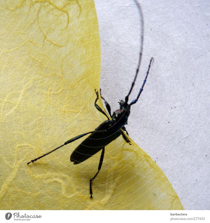 Zerreißprobe Tier schwarz gelb Umwelt Bewegung grau Tisch Papier entdecken diagonal kämpfen Käfer krabbeln Seidenpapier Bockkäfer