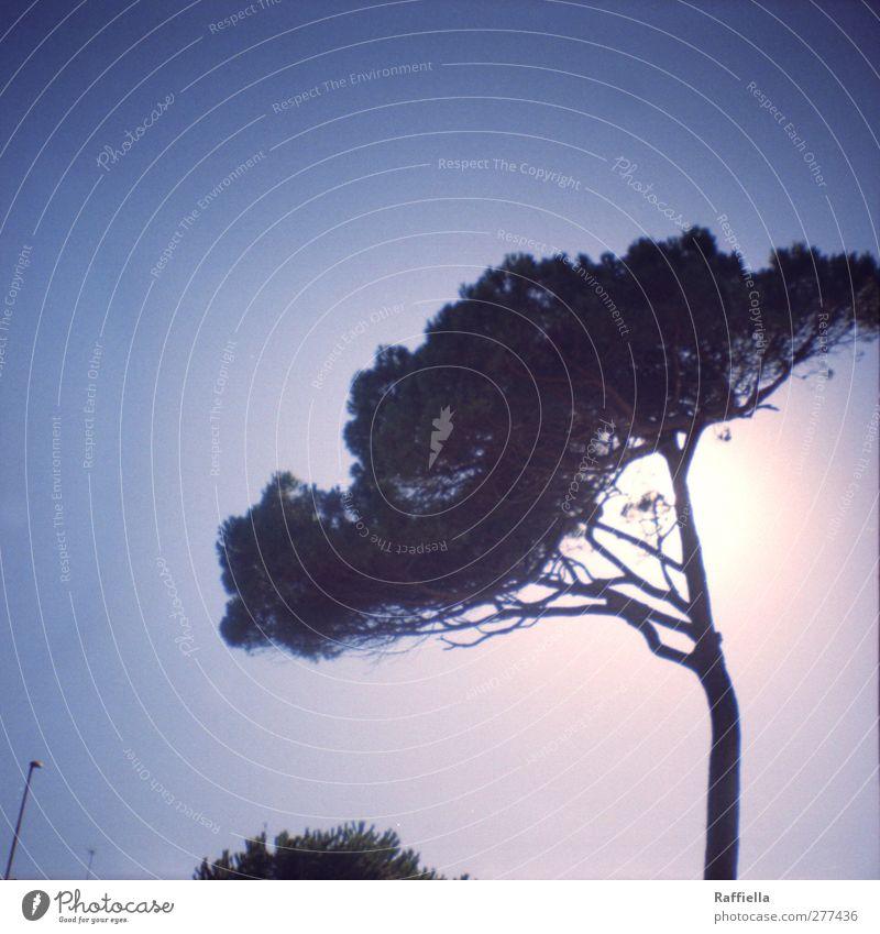 Pinie Natur Pflanze Luft Himmel Wolkenloser Himmel Sonne Sonnenlicht Sommer Schönes Wetter Wärme Baum Sträucher Nutzpflanze Nadelbaum Straßenbeleuchtung